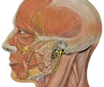 head-facial-nerve-branches